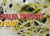 Do Alfalfa Sprouts Go Bad