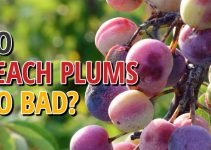Do Beach Plums Go Bad