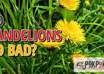 Does Dandelion Go Bad?