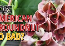 Does American Groundnut Go Bad
