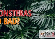 Does Monstera Go Bad?