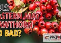 Does Eastern May Hawthorn Go Bad?