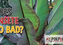 Does Ensete Go Bad