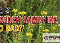 Does Golden Samphire Go Bad