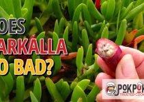 Does Karkalla Go Bad