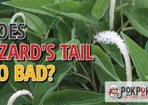 Does Lizard's Tail Go Bad
