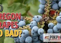 Do Oregon Grapes Go Bad?