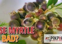Does Rose Myrtle Go Bad?