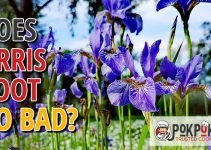 Does Orris Root Go Bad?