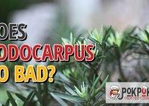 Does Podocarpus Go Bad?