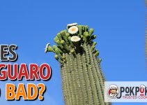 Does Saguaro Go Bad?