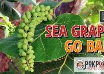 Do Sea Grapes Go Bad?