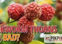 Does Silkworm Thorn Go Bad?