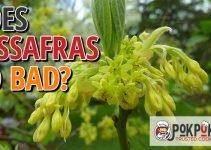 Does Sassafras Go Bad?