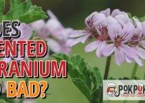 Does Scented Geranium Go Bad?