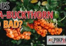 Does Sea Buckthorn Go Bad?