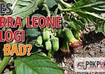 Does Sierra Leone Bologi Go Bad?