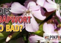 Does Soapwort Go Bad?