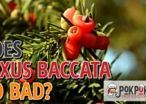 Does Taxus Baccata Go Bad?