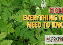 Cicely: Everything You Need To Know