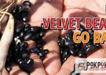 Do Velvet Beans Go Bad?