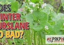Does Winter Purslane Go Bad?